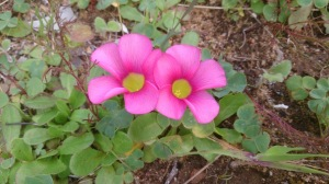 2 bright pink flowers with love from WA